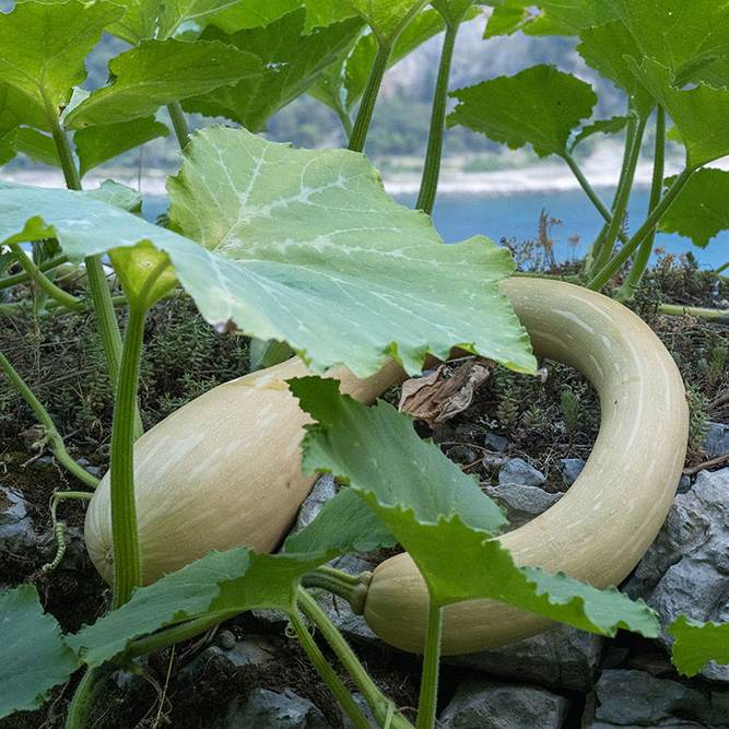 zucca orto portovenere